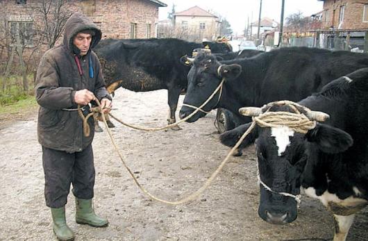 Бай Костадин Мингов се ядосва за откраднатото хубаво теле